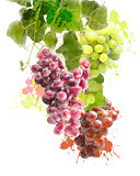 Watercolor Image Of Grapes