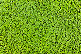 Clover carpet