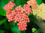 pink yellow Yarrow Achillea flower