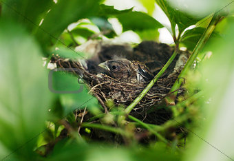 Little Bird Nestlings in the branch