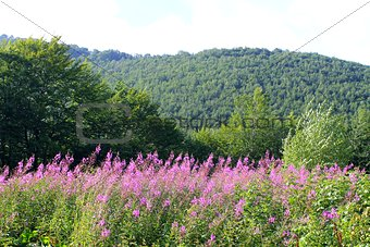 Carpathians. Landscape with fireweed