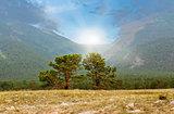 Siberian pine in field