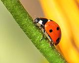 Ladybird climbing flower stem