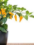 Fatalii chili on plant on white background