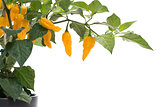Fatalii chili on plant on white background