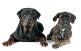 puppy cane corso and rottweiler