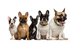 Group of French Bulldog sitting
