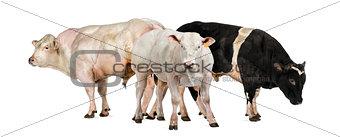 Three Belgian blue bulls
