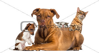 Cats and puppy playing and hiding behind a Dogue de Bordeaux
