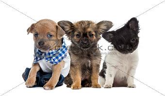Three Chihuahua sitting