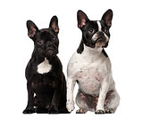 Two French Bulldogs sitting