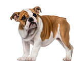 English Bulldog puppy (3 months old)