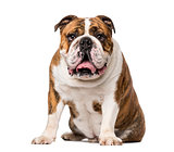 English Bulldog (4 years old)