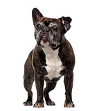 French Bulldog (7 years old)