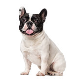 French Bulldog (18 months old)