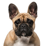 French Bulldog (7 months old)