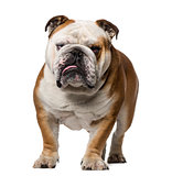 English Bulldog (3 years old)