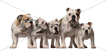 Group of English Bulldogs
