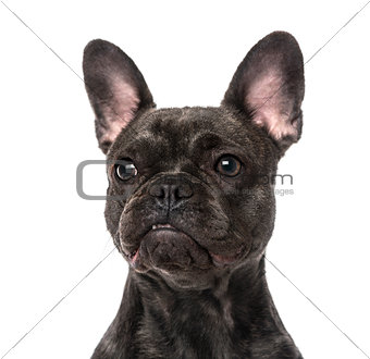 French Bulldog (1 year old)