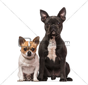French Bulldog (7 months old), Chihuahua (3 years old)