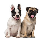 French Bulldog (7 months old), Pug (8 months old)