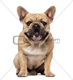 French Bulldog (1,5 year old)