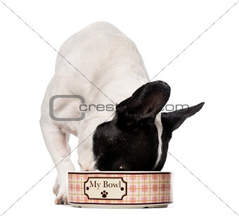 French Bulldog (3 years old) eating