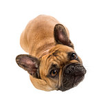 Top view of a French Bulldog (3 years old)