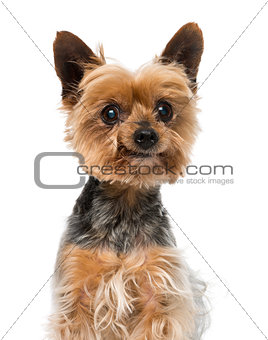Old yorkshire terrier (13 years old)