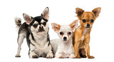 Group of three Chihuahuas