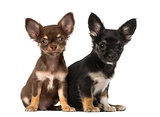 Two chihuahuas sitting