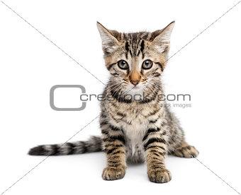 Kitten (2 months) sitting