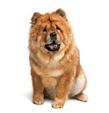 chow chow (2 years old)