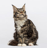 Maine coon (10 months old)