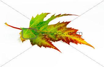 Green-red autumn leaf