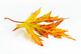 Yellow-green-red autumn leaf