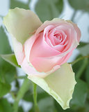 Pink rose bud with green stems and leaves at garden