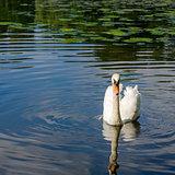 Graceful white swan swimming on water