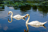 Two white swans are swimming on water in nature