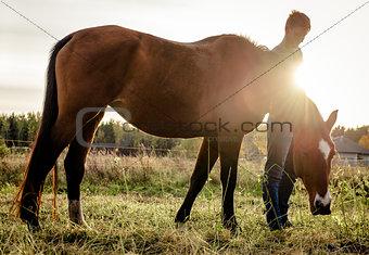Beautiful brown horse feeding outdoors