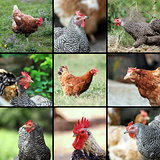 livestock images form the farm