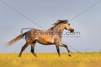 Grey horse gallop