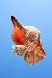 Conch Snell