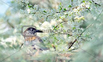 thrush on branch  (Turdus Obscurus)