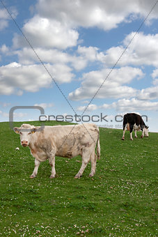cattle feeding on the green grass