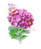 Watercolor Image Of Hydrangea Flower