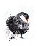 Black Swan.Watercolor