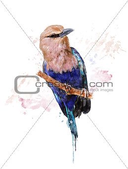 Watercolor Image Of Blue Bellied Roller