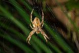 Eurasian Garden Spider macro