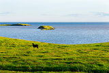 Iceland summer landscape. Goat on sea coast  in the meadows